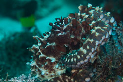 BD-150426-Maldives-8799-Octopus-cyanea.-Gray.-1849-[Big-blue-octopus].jpg